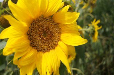 Blütenkorb einer Sonnenblume