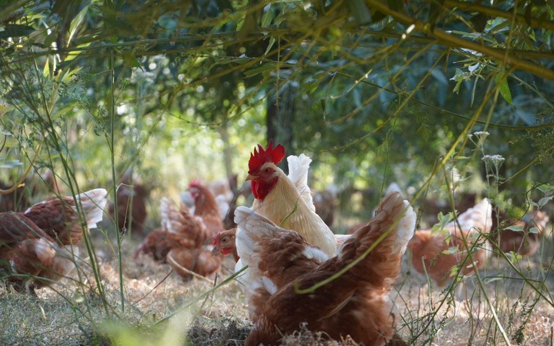Vogelgrippebefund bei Partnerbetrieb Eschenhörn