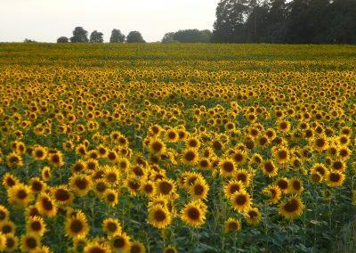 haehnlein Sonnenblumen auf dem Feld