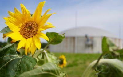 EZ Fürstenhof nutzt 1.500 t Sonnenblumenkerne aus eigenem Anbau