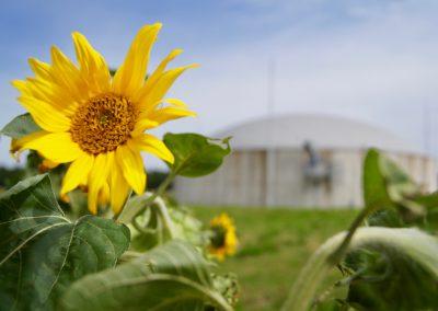 Sonnenblumen von haehnlein